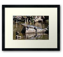 Gator Nap Framed Print