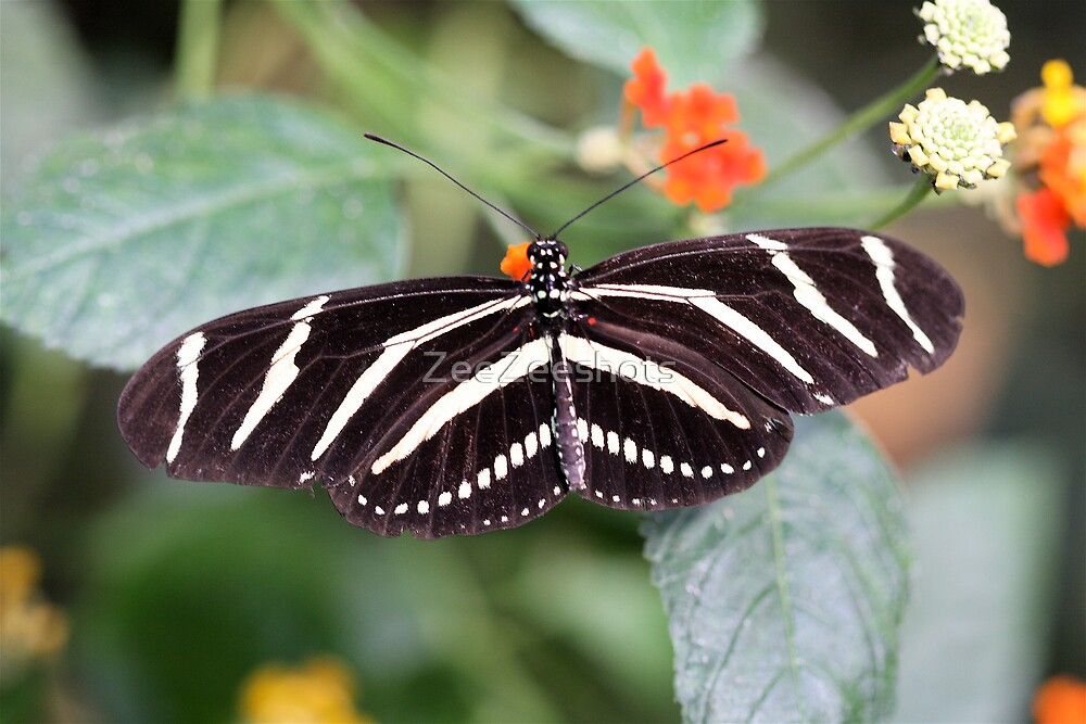 Zebra Longwing by ZeeZeeshots