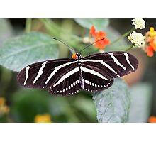 Zebra Longwing Photographic Print