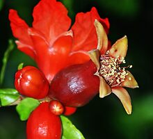 Pomegranates are delicious. by Doty