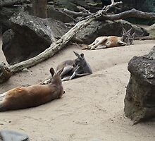 Kangaroos Lazing Around by Stuart Ryan