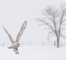 Snowy Owl in Flight by faczen