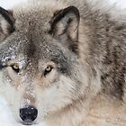...hypnotic wolf eyes... by John44