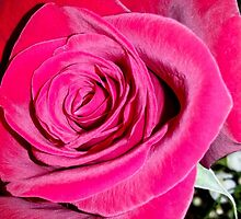 Lovely Red Rose by Mary Ellen Tuite Photography