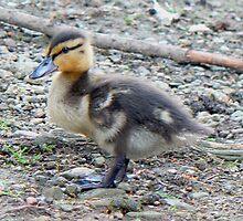 A Mallard Duckling by AARDVARK