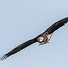 Soaring Eagle by Thomas Young