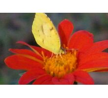 Marigold Butterfly Photographic Print