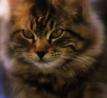 Tabby Cat by R&PChristianDesign &Photography