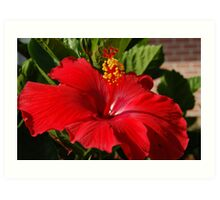 Red Hibiscus D50 Art Print