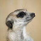 Mr. Meerkat by Bryan Peterson