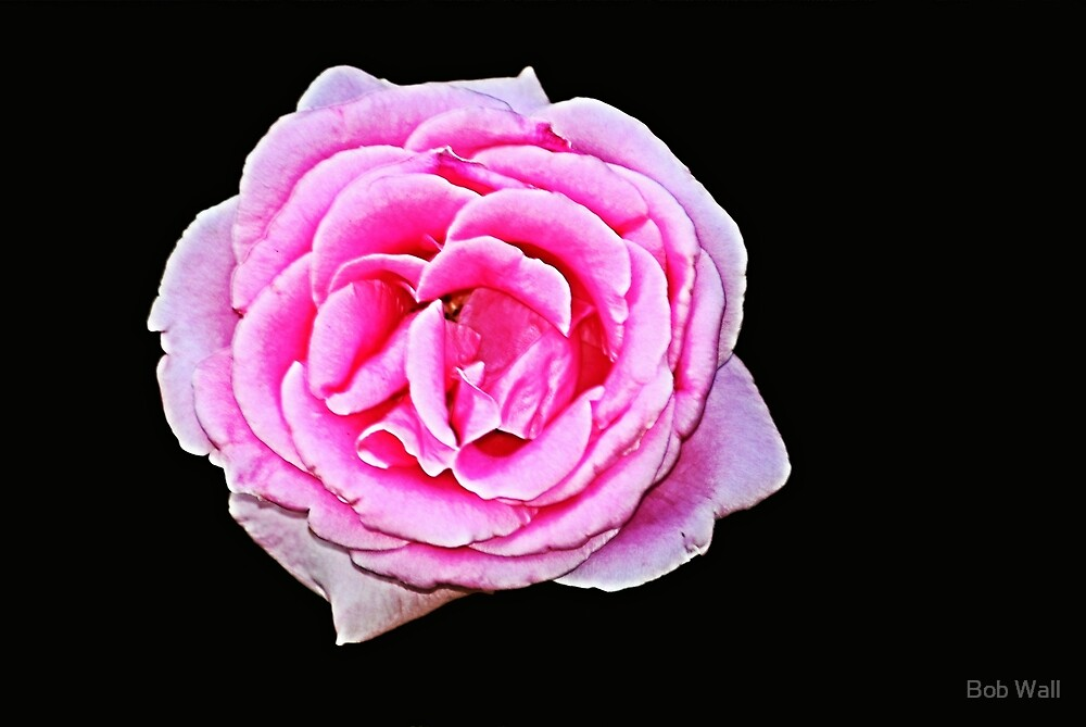 Pink Rose on Black by Bob Wall
