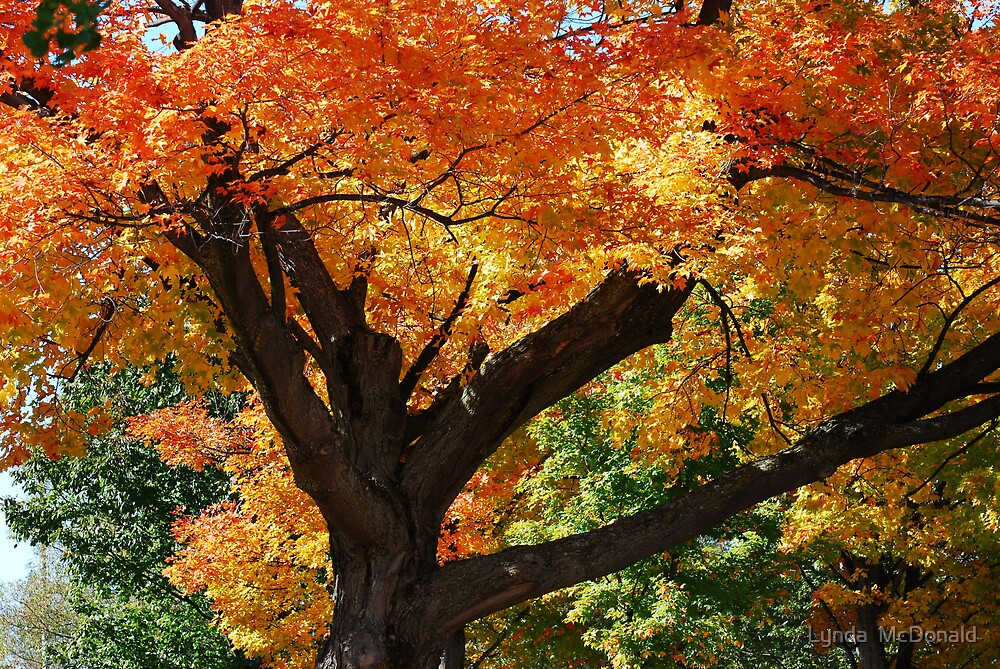 Blazing Maple Tree by Lynda   McDonald