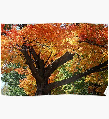 Blazing Maple Tree Poster