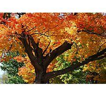 Blazing Maple Tree Photographic Print