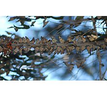 Butterflies In A Row.... Photographic Print