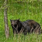 Black Bear at Cades Cove by John Wright
