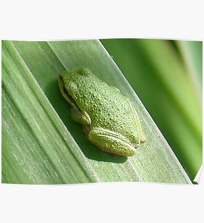 Pacific Tree Frog Poster