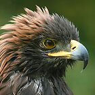 Golden Eagle by Tina Dial