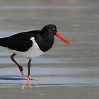 Strolling Oyster Catcher  by Tina Dial