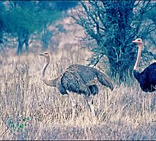 Ostriches in Masai Mara (Kenya) by satwant