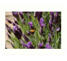 BEE ON LAVENDER Art Print