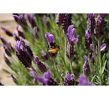 BEE ON LAVENDER Photographic Print