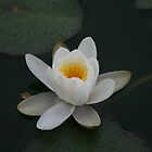 Water Lilly by MarianH
