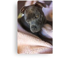 Pure Blue Staffy Canvas Print