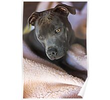 Pure Blue Staffy Poster