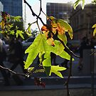 Autumn leaves in Melbourne by observer11