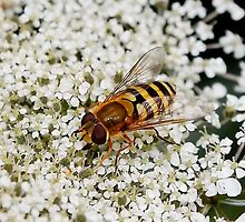 Hoverfly on Queen Anne Lace by AnnDixon