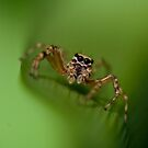 Jumping Spider by Daniel Spruce