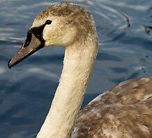 Swan by Stuart Jenkins