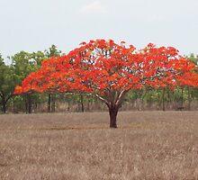 A field near Batchelor Northern Territory Australia by chris51