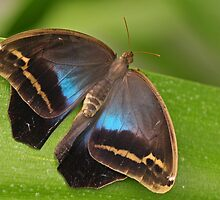 Purple Mort Butterfly by Robert Abraham