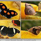 Grecian Shoemaker Butterfly by Robert Abraham