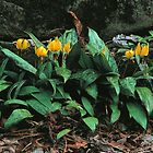 TROUT LILY by Chuck Wickham