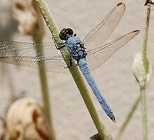 Blue Dragon Fly by labacinelli