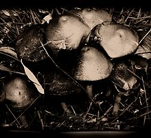 Agaricus Campestris by BellaGyrlPhoto