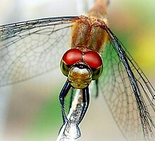 Dragonfly by labacinelli