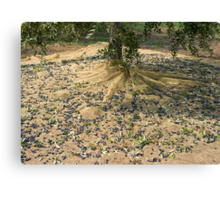 Harvest of olives Canvas Print