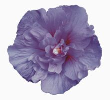 Purple hibiscus flower by ghjura