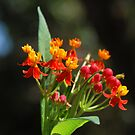 Milkweed by Candyworld