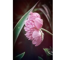 Peony with a Foliage Frame Photographic Print