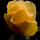 Yellow Rose by Rachel Ward