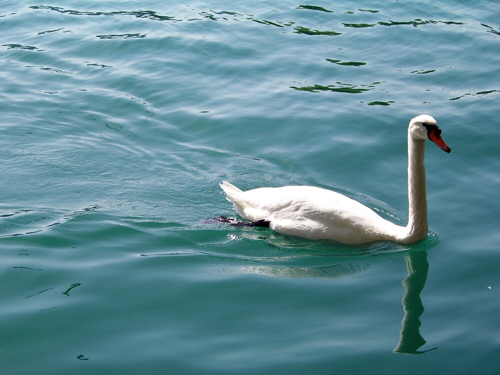 Swan on Lake Zurich by Peter Walters
