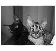 Naughty Devon Rex kittens Poster
