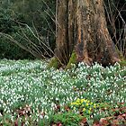 Snowdrop Time Again  by hootonles