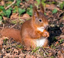 Red Squirrel by Paul Spear