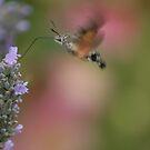 Hummingbird Hawkmoth by Pamela Jayne Smith
